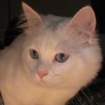 Gatti bianchi: carattere e personalità