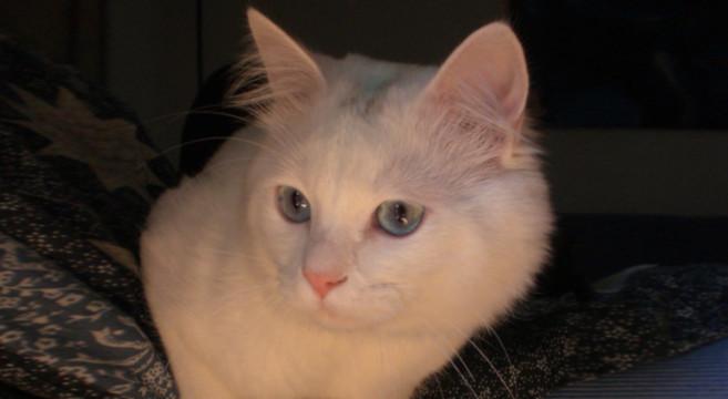 spesso Gatti bianchi: carattere e personalità | Petpassion Blog BD59