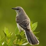 L'abilità canora degli uccelli? Questione di clima