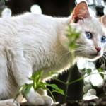 Perché i gatti muovono la  testa da una parte e dall'altra quando puntano una preda?