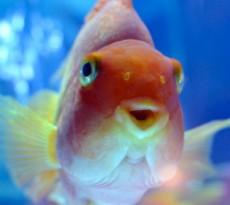 Shubunkin etereo e luminoso pesce rosso petpassion for Pesce rosso razza