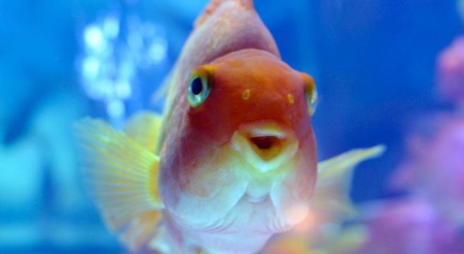 Pesci rossi la boccia una vera tortura petpassion blog for Pesce rosso razza