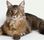 Razza gatto Maine Coon