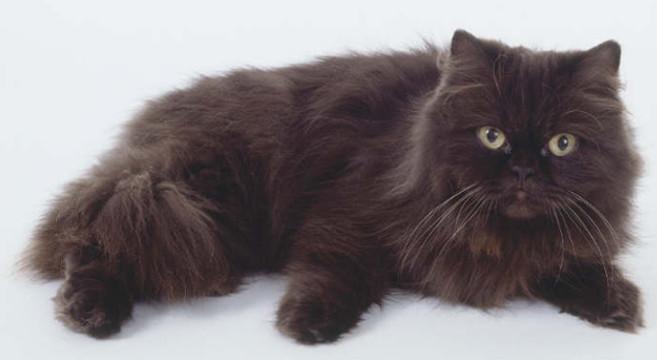 Conosciuto Gatti di razza: il gatto York Chocolate | Petpassion Blog FT95