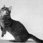 Munchkin, il bassotto dei gatti