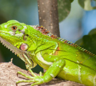 iguana-copertina-pet