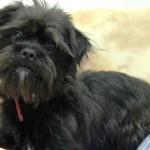 Cani di razza: il cane Affenpinscher