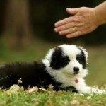 Un cucciolo di border collie sordo impara la lingua dei segni