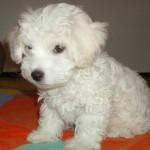 Cani di razza: il cane Bolognese