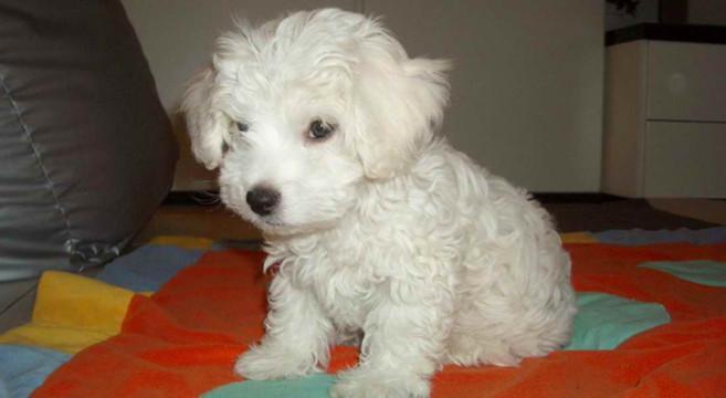 Cani di razza il cane bolognese petpassion for Carattere barboncino