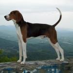 Treeing Walker Coonhound – segugio coccolone