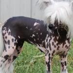 Cani di razza: il Cane Nudo Cinese (Chinese Crested Dog)