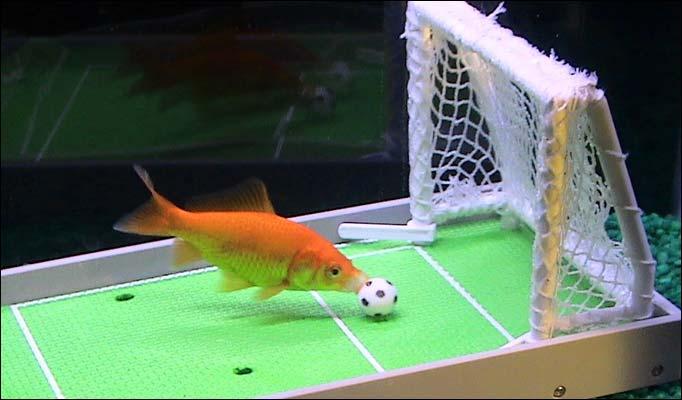 Pesce rosso gioca a calcio petpassion blog for Ingrosso pesci rossi