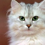 La sordità nel gatto