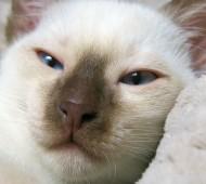 razza_gatto_thai_