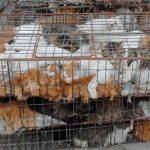 Polemiche su denuncia traffico sangue dei gatti