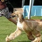 Levriero afgano, il cane più antico del mondo