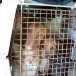 Ventimiglia: cuccioli liberati da trafficanti