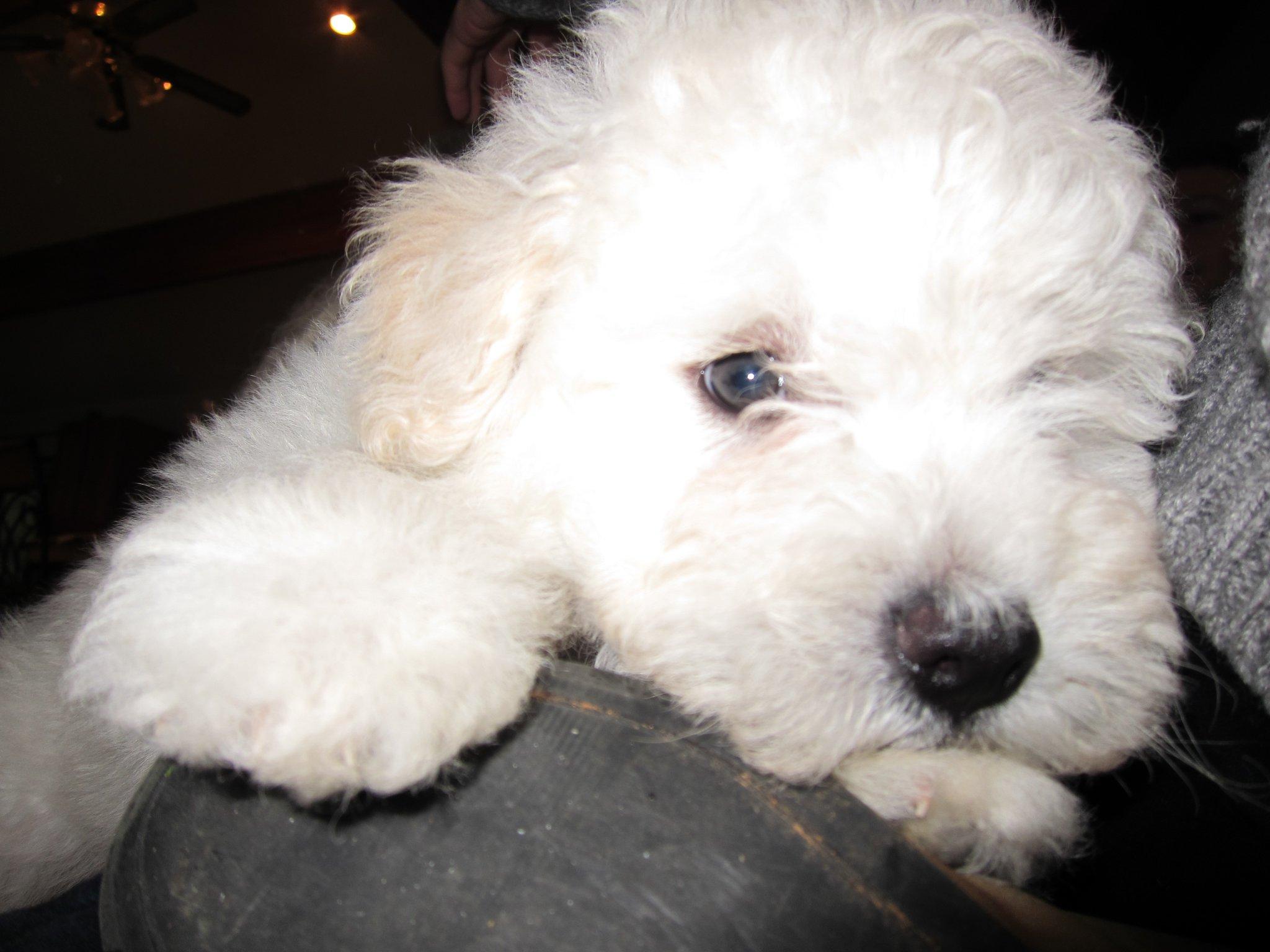 Beast, il cucciolo di pastore ungherese