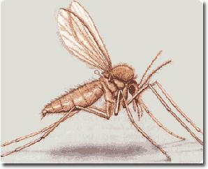 Risultati immagini per foto zanzara leishmaniosi