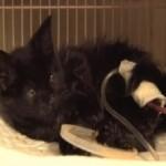 La gattina di Cinisello peggiora: intervista ai veterinari di ENPA