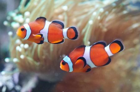 Foto pesce pagliaccio petpassion blog for Pesce pagliaccio foto