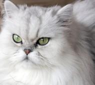 Razza gatto Persiano
