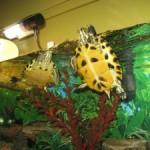 Come allestire un acquaterrario per la vostra tartaruga