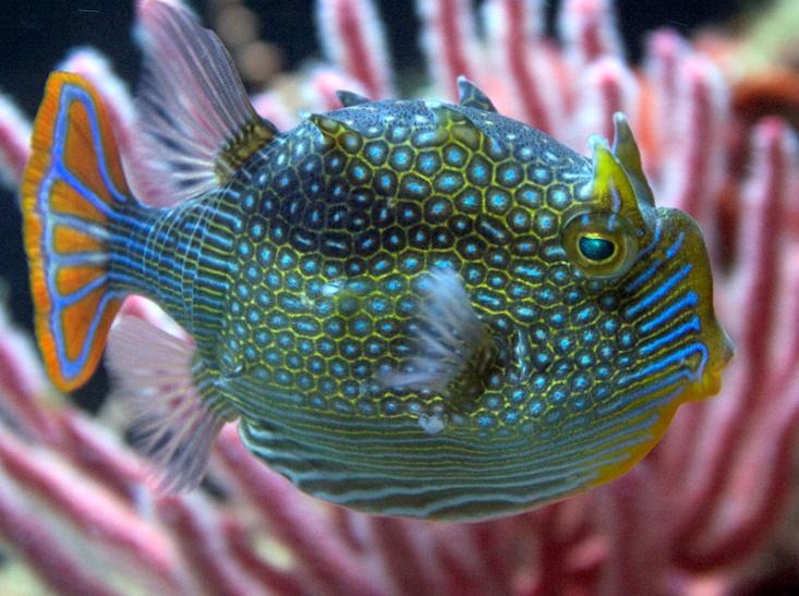 Pesce acquario azzurro anemone foto petpassion blog for Pesci per acquario tropicale