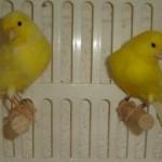 Le caratteristiche dei canarini