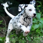 Cani di razza: dalmata, cane dal mantello a pois