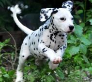 foto-cucciolo-dalmata