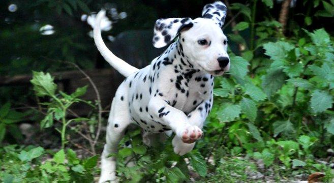 Foto cucciolo dalmata