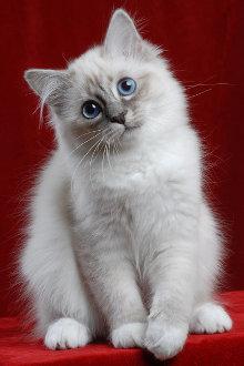 Gatti di razza a pelo lungo foto