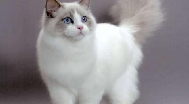 Super Gatti di razza: il gatto Ragdoll | Petpassion Blog PL87