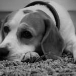 La tassa sui cani, gatti e animali da compagnia è una bufala che ha invaso il web