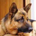 Crudeltà su animali. Denunciato per maltrattamento, voleva un nuovo cucciolo