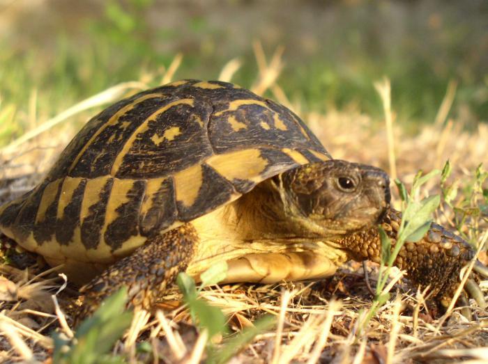 Il risveglio dal letargo delle tartarughe petpassion blog for Tartarughe razze
