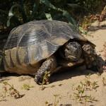Animali e truffe: il caso delle tartarughe terrestri. Parola all'esperto