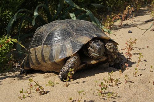testudo-tartaruga-habitat