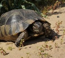 Tartarughe terrestri comportamento con l 39 uomo e con i for Tartaruga di terra maschio o femmina