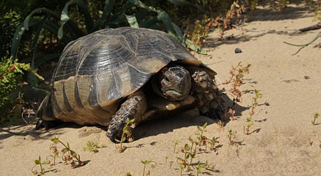 Come allevare una tartaruga di terra petpassion for Letargo tartarughe acqua