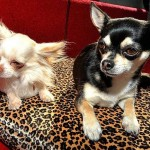 Cuccioli di Chihuahua: sgominato traffico dall'Europa dell'Est