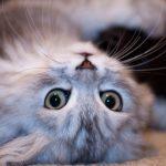 Scopri la Top 10 dei gatti di razza: caratteristiche, storia e curiosità