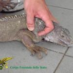Lecce: iguana abbandonata in fin di vita, salvata dalla Forestale
