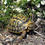 Sapevi che devi denunciare la tartaruga di terra al CITES?