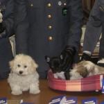 Traffico di cani dall'Est: 24 cuccioli di razza sequestrati dalla Guardia di Finanza