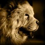 Cani di razza: il Chow Chow detto anche cane leone