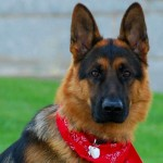 Cani di razza: il Pastore Tedesco o German Shepherd Dog