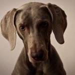 Cani di razza: bracco di Weimar o Weimaraner detto il Fantasma Grigio